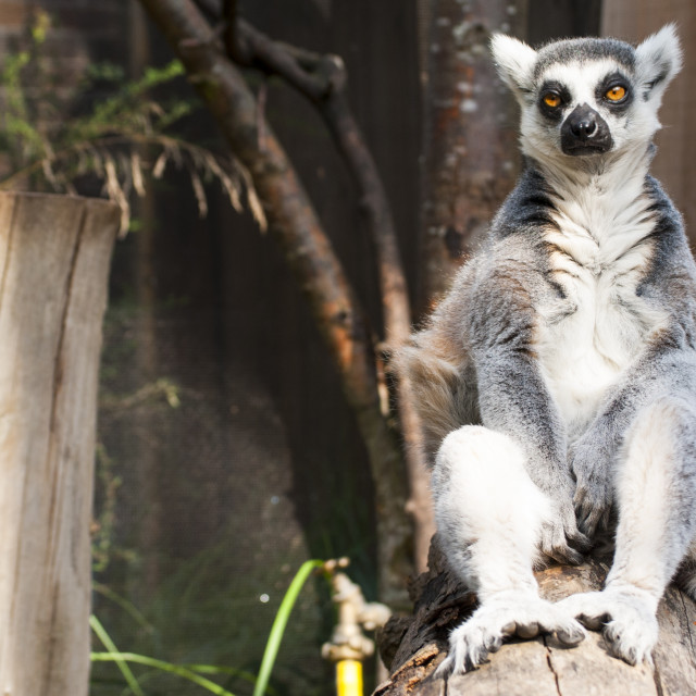 """Peaceful Lemur"" stock image"