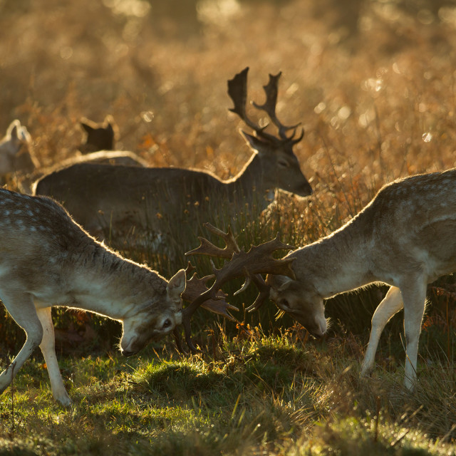 """Fallow deer, Dama dama, fighting during the winter months in the sunset of Richmond Park in London, England."" stock image"