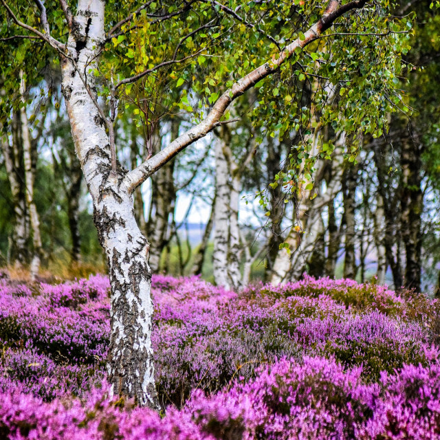 """August Heather"" stock image"