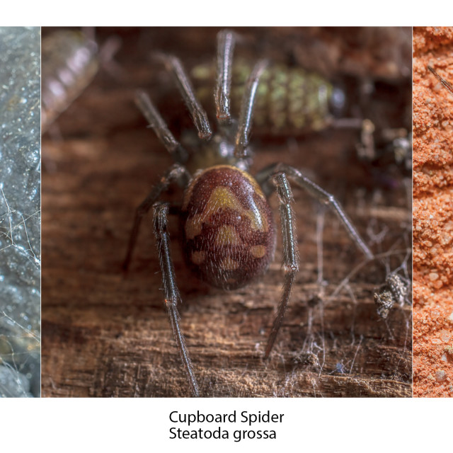 """British Steatoda spider species identification"" stock image"