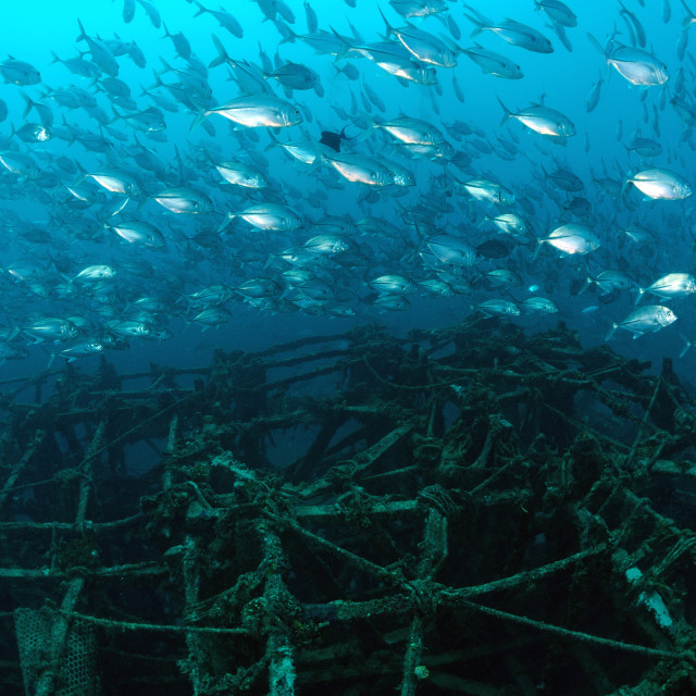 """School of jackfish on artificial reef in Mabul, kapalai, Malaysia"" stock image"