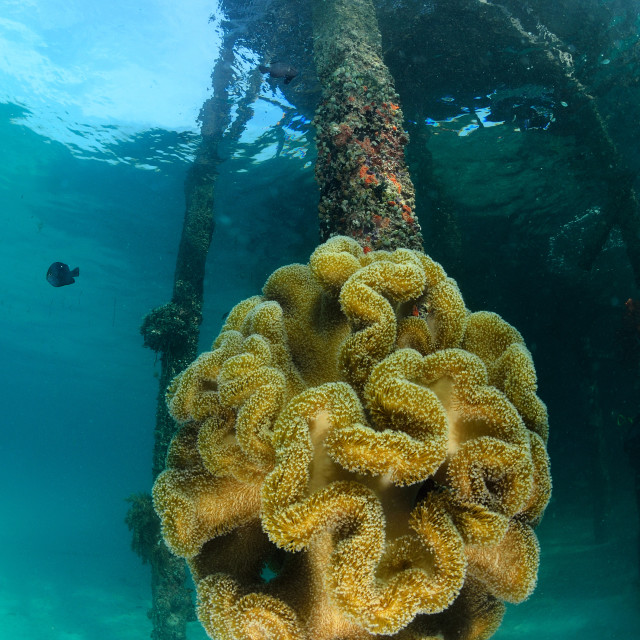 """giant anemone at dive center in Mabul, Sipadan, Malaysia"" stock image"