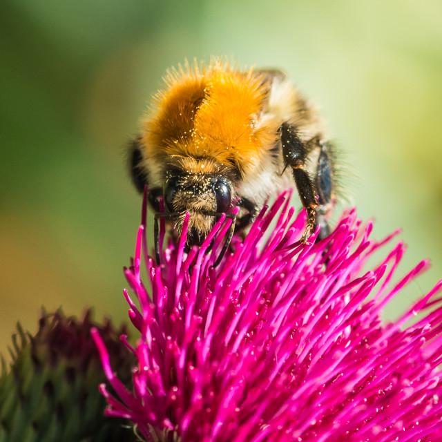 """Bumblebee Delight"" stock image"