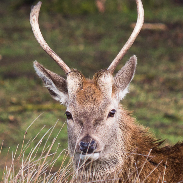 """Red Deer stag"" stock image"