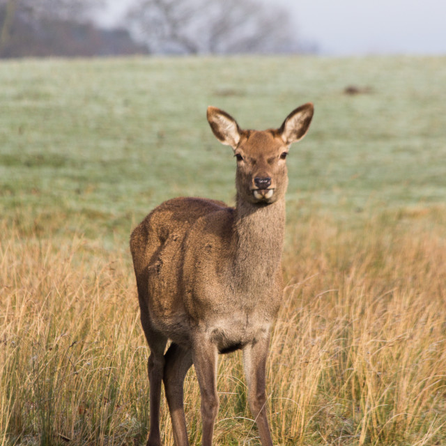 """Red Deer 2"" stock image"