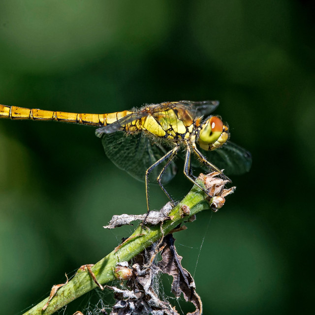 """Dragonfly (Sympetrum striolatum) (I)"" stock image"
