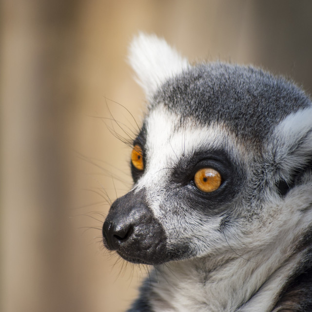 """Lemur - close up!"" stock image"