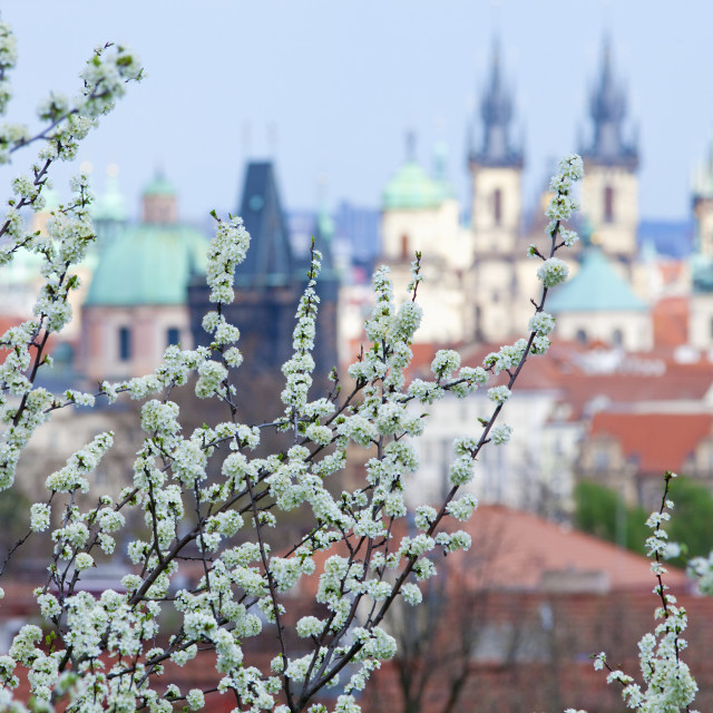 """Prague - Cheer Trees in Blossom in Springtime"" stock image"