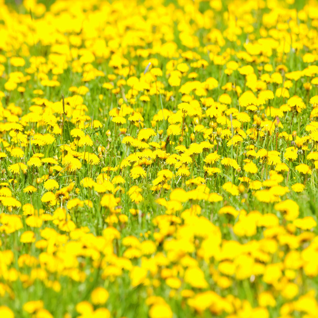"""Field of Dandelion Flowers at Blossom in Springtime"" stock image"