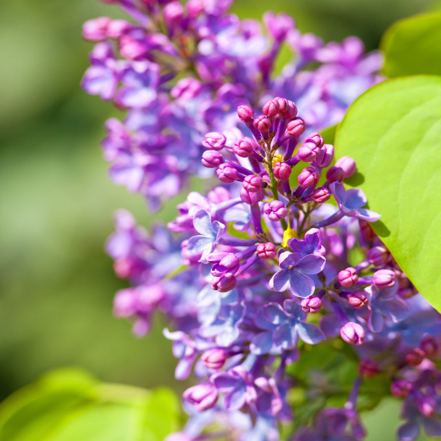 """""""Closeup of Lilac Flower at Blossom in Spring"""" stock image"""
