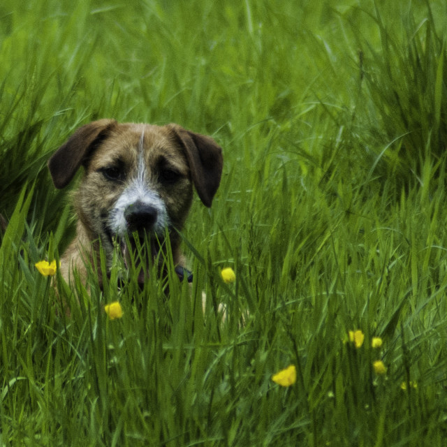 """Border Terrier observing from Grass"" stock image"