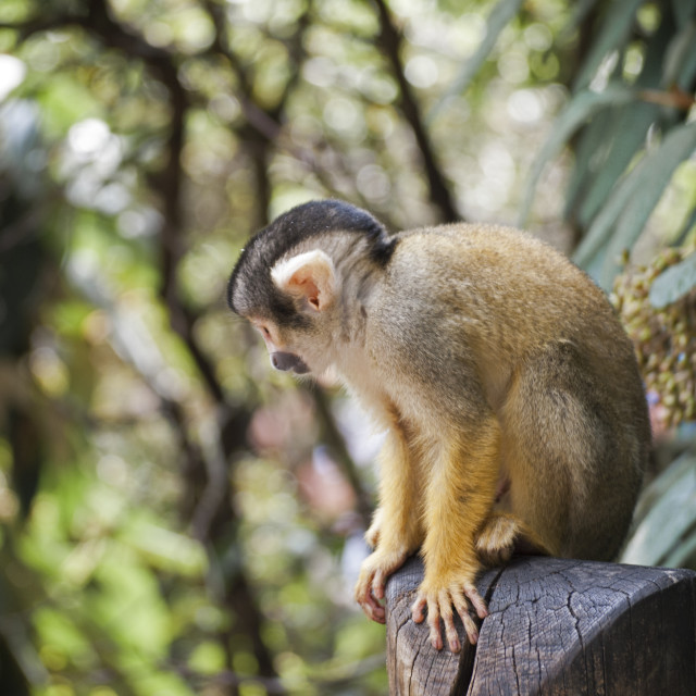 """Squirrel Monkey looking down"" stock image"