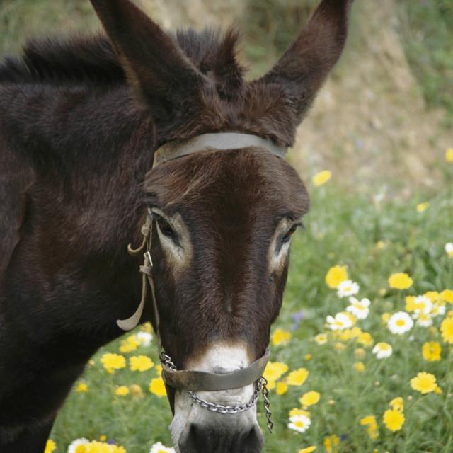 """CRETE, Portrait of a Donkey"" stock image"
