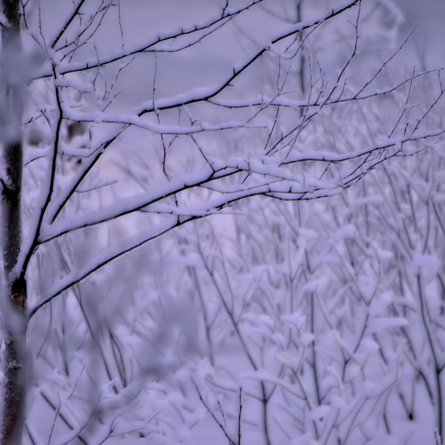 """Snow laden trees"" stock image"