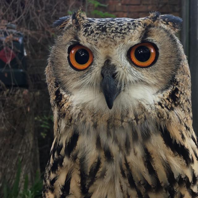 """""""Eagle Owl eyes"""" stock image"""