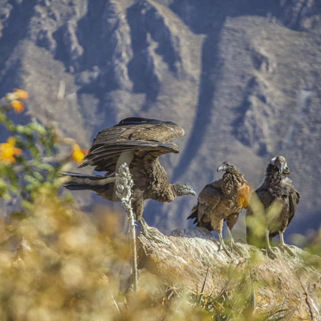 """Condor chicks"" stock image"