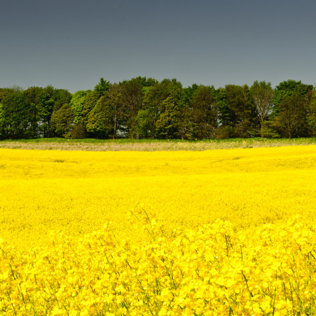 """Field of Rapeseed"" stock image"