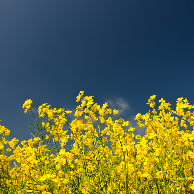 """Rapeseed in full Bloom"" stock image"