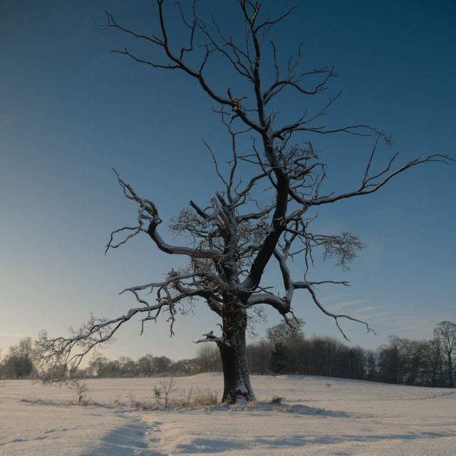 """A Winter's Tree"" stock image"