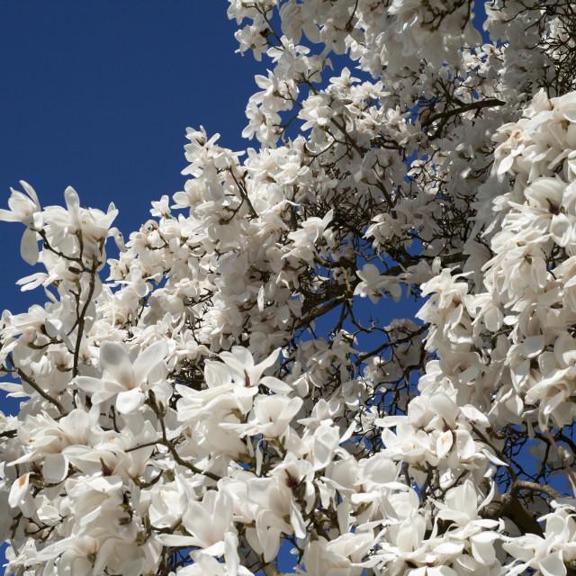 """""""White magnolia tree in blossom"""" stock image"""