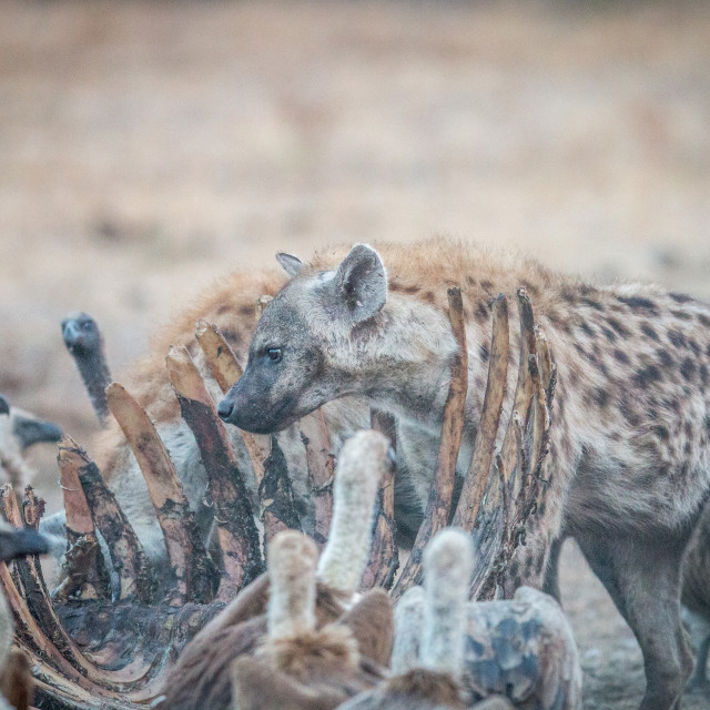 """Spotted hyena on a carcass with Vultures."" stock image"