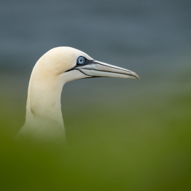 """Gannet profile with diffused, grass foreground"" stock image"