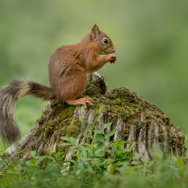 """Red Squirrel sitting on tree stump"" stock image"