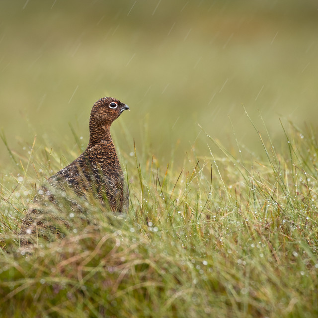 """Red Grouse sitting in the rain"" stock image"