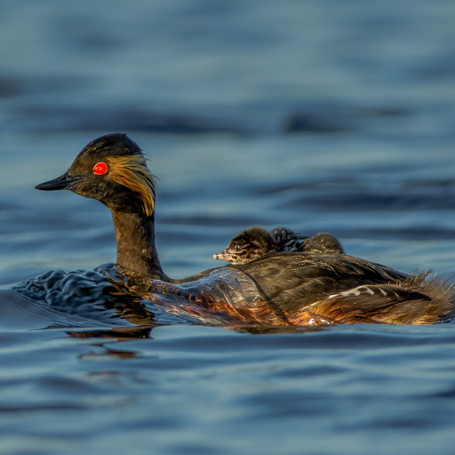"""""""Black-necked grebe with young on its back"""" stock image"""