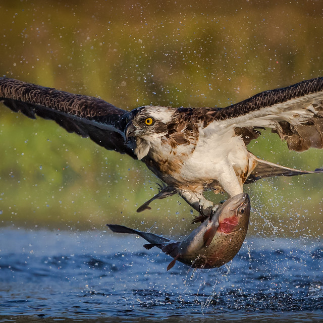 """Close up of Osprey fishing"" stock image"