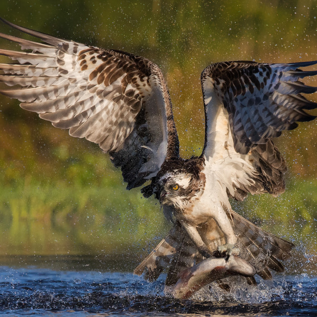 """An Osprey catching a fish"" stock image"