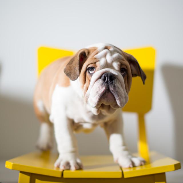 """A puppy English Bulldog."" stock image"