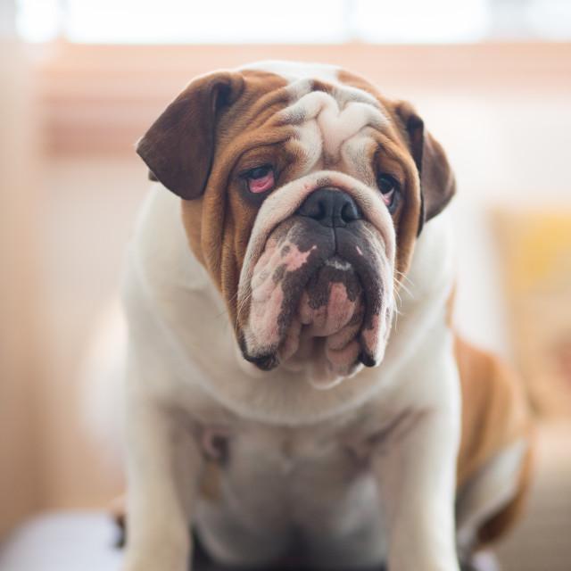 """An English Bulldog portrait."" stock image"
