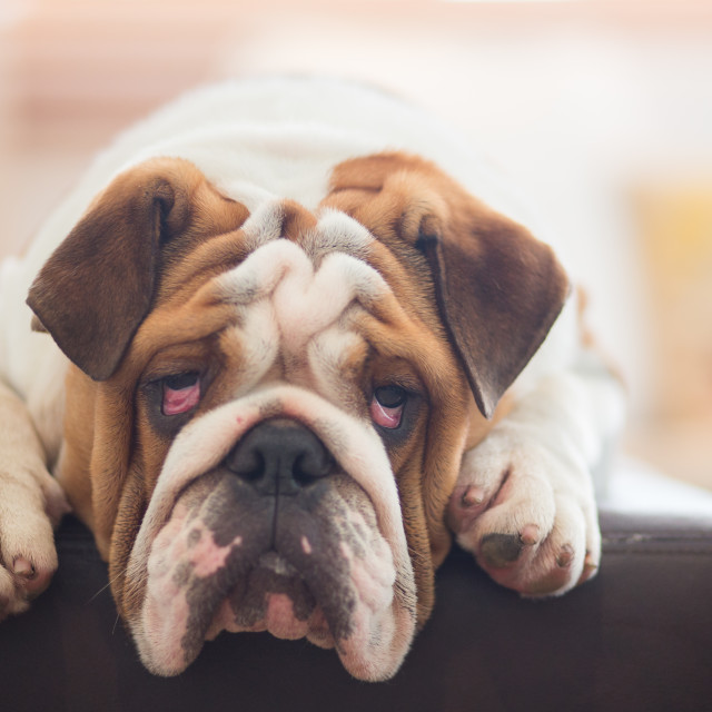 """A lazy English Bulldog."" stock image"