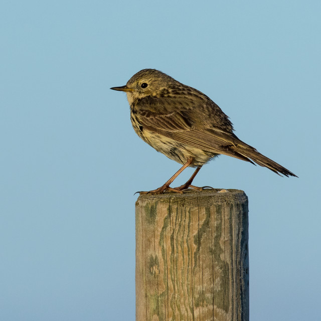 """Meadow Pipit perched on a post"" stock image"