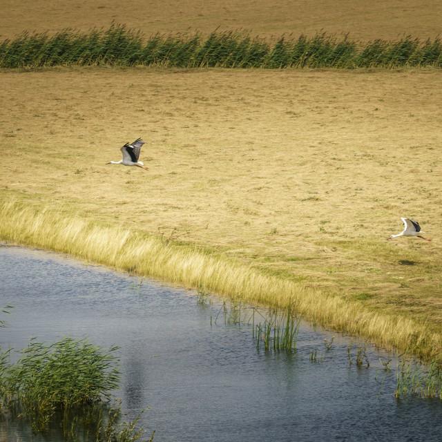 """Two storks taking flight"" stock image"