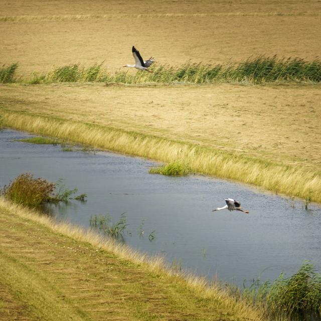 """""""Take-off in the Biesbosch"""" stock image"""