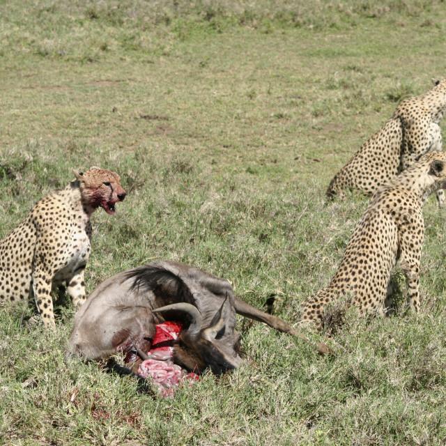 """Cheetah (Acinonyx jubatus) Eating the carcass"" stock image"