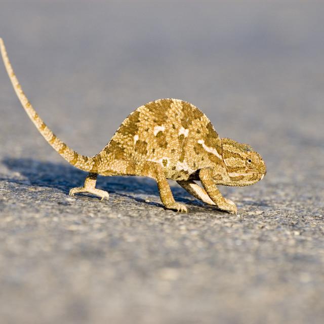 """""""common chamaeleon, Chamaeleo chamaeleon,"""" stock image"""