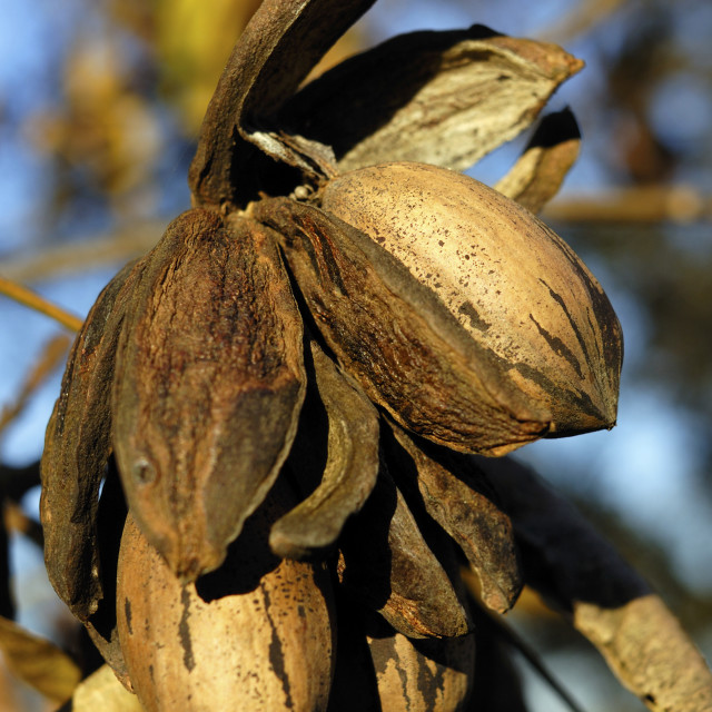 """""""pecans on a tree"""" stock image"""