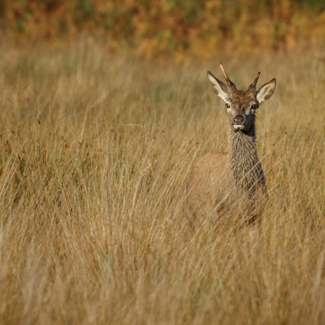 """Young Red Deer Stag watching"" stock image"