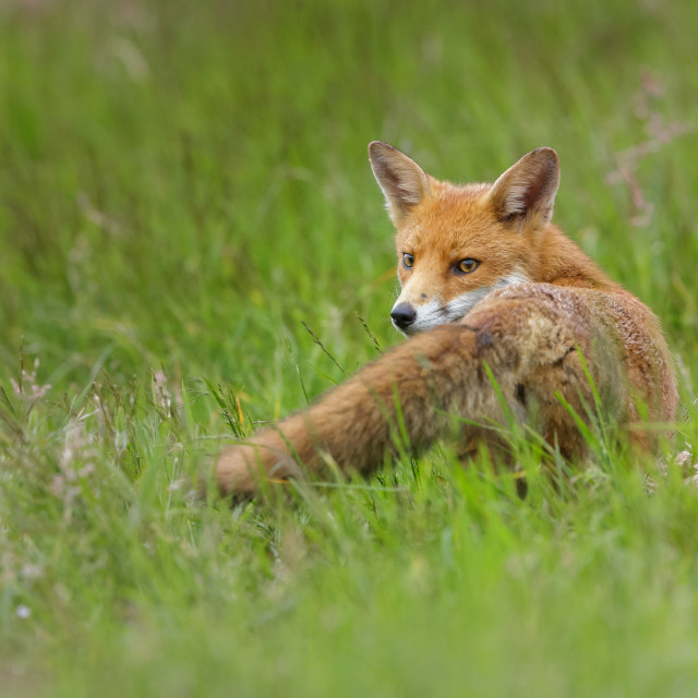 """""""Red Fox in the long green grass"""" stock image"""