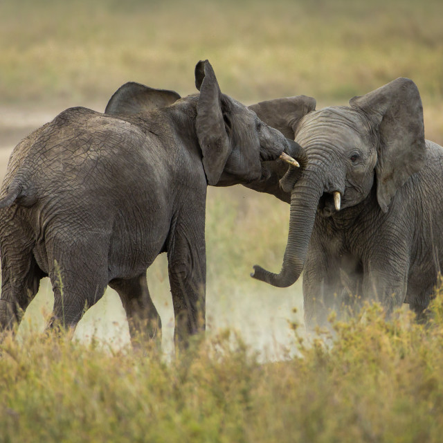 """""""Two tussling young African elephants"""" stock image"""