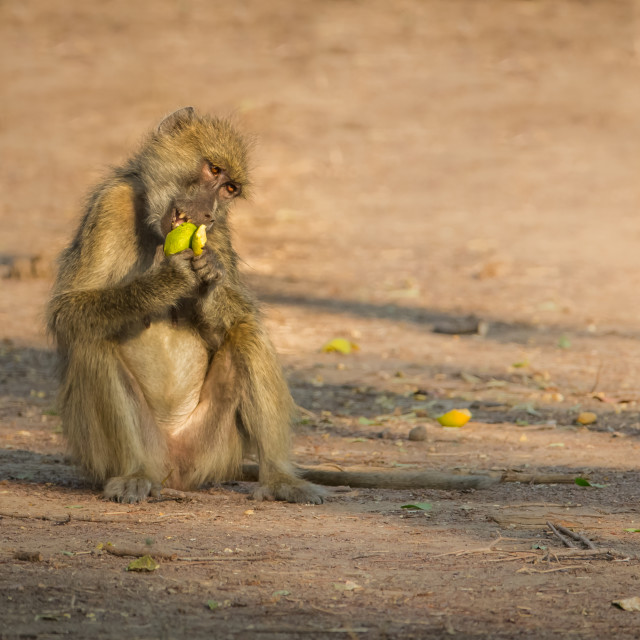 """Yellow Baboon sitting down eating fruit"" stock image"
