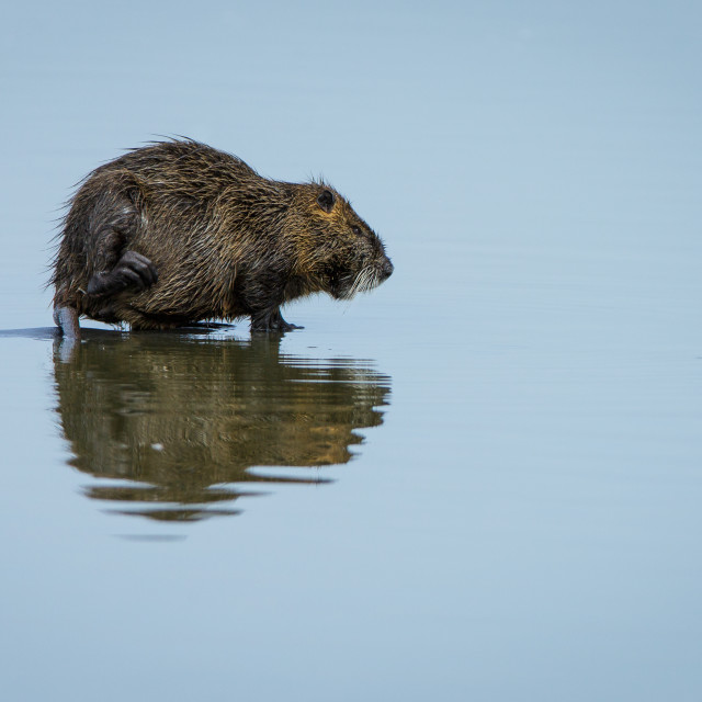 """Coypu standing on water"" stock image"