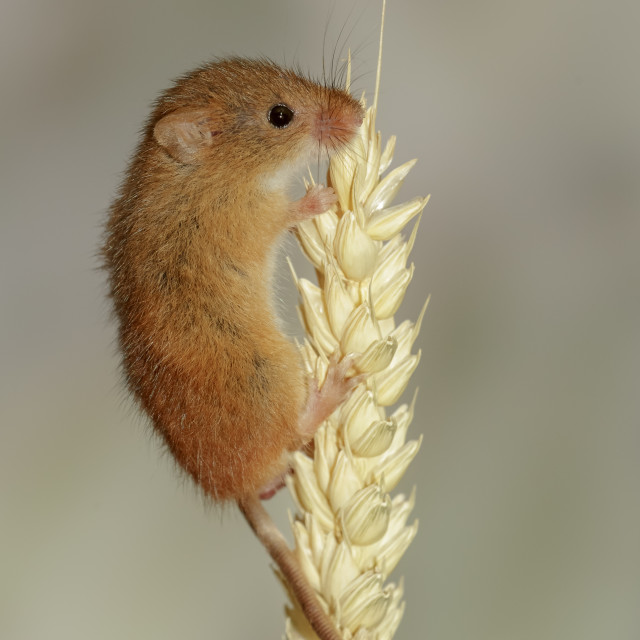 """Harvest Mouse on ear of barley"" stock image"
