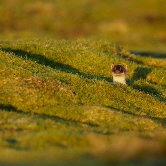 """Stoat on the lookout in the Yorkshire Dales"" stock image"