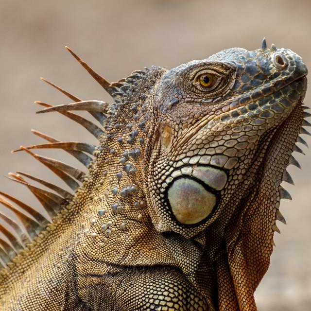 """Side profile of Green Iguana. Costa Rica"" stock image"