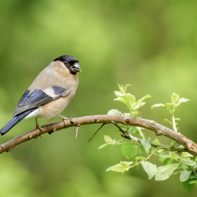 """Female Bullfinch sitting on a branch"" stock image"