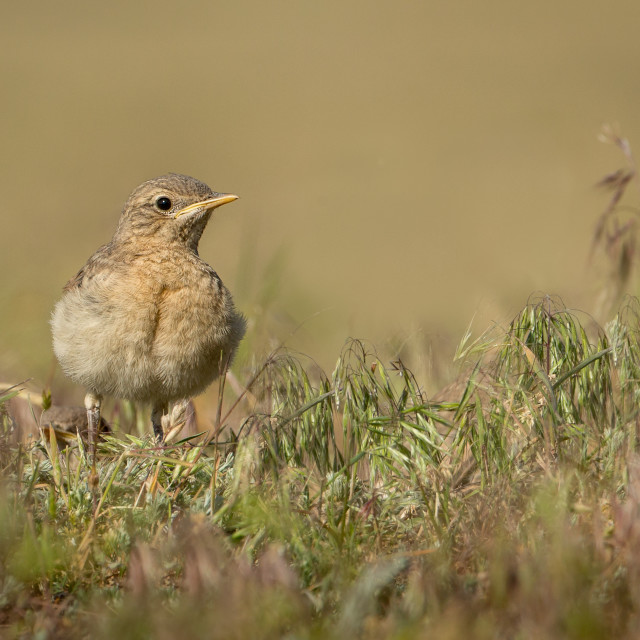 """Isabelline Wheatear Chick on the ground"" stock image"